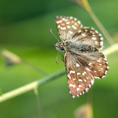 Beau papillon brun — Photo