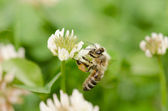 Bee on a flower clover — Stock Photo