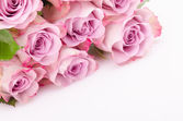 Fuchsia roses — Stock Photo