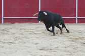 Black bull running in the bullring — Stock Photo