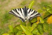 Velký motýl se zlomenými křídly — Stock fotografie