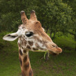Nice portrait of a giraffe eating grass and looking intently — Stock Photo #13207695