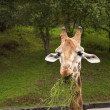 Nice portrait of giraffe eating grass and looking intently — Stock Photo #13207734