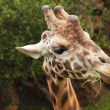 Nice portrait of a giraffe eating grass and looking intently — Stock Photo #13207742