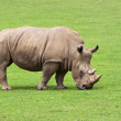 Stock Photo: Rhinoceros eating grass peacefully