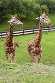 Two giraffes eating grass portrait — Stock Photo