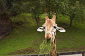 Nice portrait of a giraffe eating grass and looking intently — Stock Photo