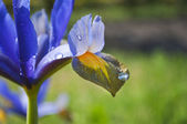 Blue and yellow lily flower with water droplets — Stock Photo