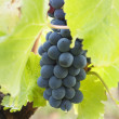 Bunches of red grapes on the vine — Stock Photo