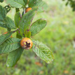 Loquat on tree branch and green leaves — Stock Photo