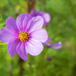 Foto Stock: Cosmos sensation, japanese pink flower on green background