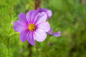 Kosmos sensation, japanska rosa blomma på grön bakgrund — Stockfoto