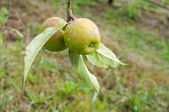 Two apples on pear tree branch with rain drops and green leaves — Stock Photo