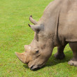 Stock Photo: Rhinoceros eating grass peacefully, Cabarceno, Spain
