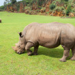 Stock Photo: Rhinoceros eating grass peacefully,, Cabarceno, Spain