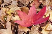 Liquidambar styraciflua red leaf on a pile of dry leaves — Stock Photo