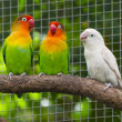 Three lovebirds birds on branch, green and white colored — Stock Photo #14754387