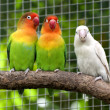 Royalty-Free Stock Photo: Three lovebirds birds on a branch, green and white colored