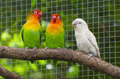 Three lovebirds birds on a branch, green and white colored — Stock Photo