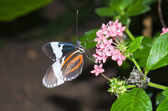 Black, red an white butterfly resting on a pink flower — Stock Photo