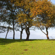 Small oak trees aligned in green grass field with blue sky in background — Foto de stock #16959371