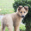 Small Basque shepherd puppy standing near bush, peering — Stock Photo #16989407