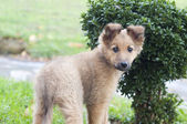 Small Basque shepherd puppy standing near a bush, peering — Stock Photo
