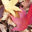 Liquidambar styraciflua red leaf on a pile of dry leaves - Stock Photo