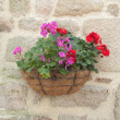 Pot hanging from a rock face, with red and rose geranium - Stock Photo