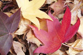 Liquidambar styraciflua red leaf on a pile of dry leaves — Stock Photo