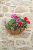 Pot hanging from a rock face, with red and rose geranium — Stockfoto