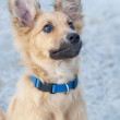 Small Basque shepherd puppy, looking intently with ears cocked — Stock Photo