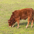 Red heifer grazing in the green pastures - Stock Photo