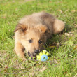 Small Basque shepherd puppy lying on the floor with a ball — Stock Photo