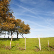 Small oak trees aligned in a fenced green grass field with blue sky in the background — Stock Photo
