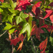 Sweetgum leaves in autumn, red and green - Stock Photo