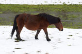 Horse grazing in a snowy field — Stockfoto