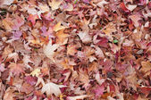 Ground covered with liquidambar sweetgum leaves in autumn — Stock Photo