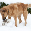 Basque shepherd dog playing with ball in yard, on snowy day — Stock Photo #21424297