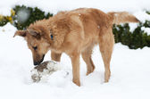 Basque shepherd dog playing with a ball in the yard, on a snowy day — Stockfoto