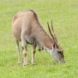 Eland in the green field — 图库照片