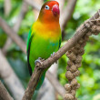 Stock Photo: Lovebird perched on branch