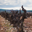Vineyard in spring vines pruned — Stock Photo