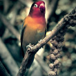 Lovebird perched on a branch — Stock Photo