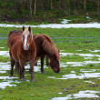 Horses grazing in a snowy field — Stock Photo