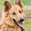 Basque shepherd dog portrait — Stock Photo #27282429