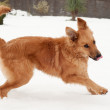 Basque shepherd dog in the yard, on a snowy day — Stock Photo