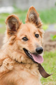 Basque shepherd dog portrait — Stock Photo