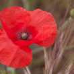 Red poppy — Stock Photo #27573253