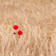 Poppies in field of dry cereal — Stock Photo #27574351
